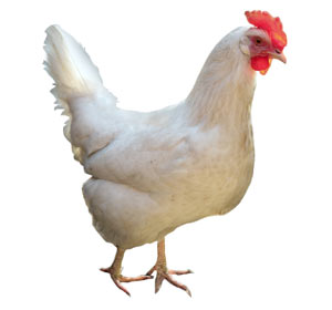 leghorn-hen